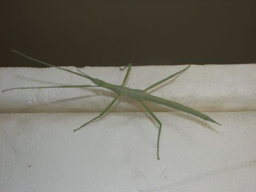 Childrens Stick Insect