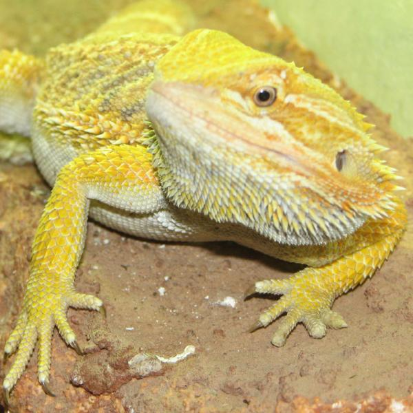Male Bearded Dragon